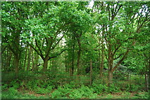 Sidmouth Wood, Richmond Park.   © Copyright Nigel Chadwick and licensed for reuse under this Creative Commons Licence